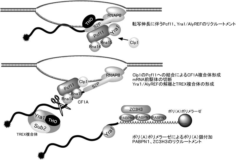 生化学SEIKAGAKUJournal of Japanese Biochemical Society