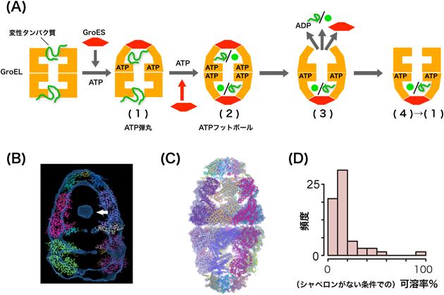 シャペロン 分子 ウイルス感染における分子シャペロンの役割とCOVID