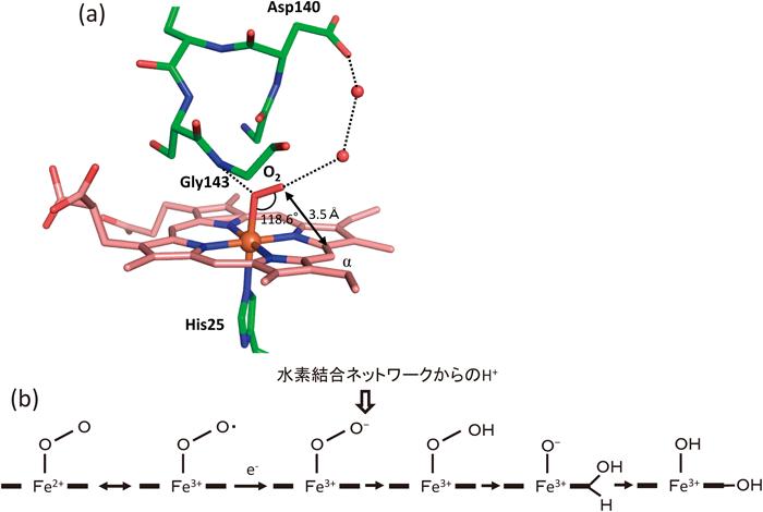 ヘム代謝系関連酵素の構造生物学...