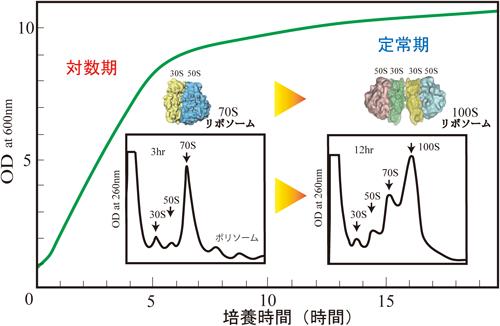 100Sリボソーム形成による翻訳制御とリボソームサイクル