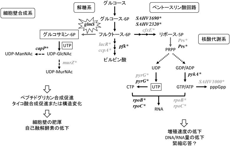 バンコマイシン 耐性 腸 球菌
