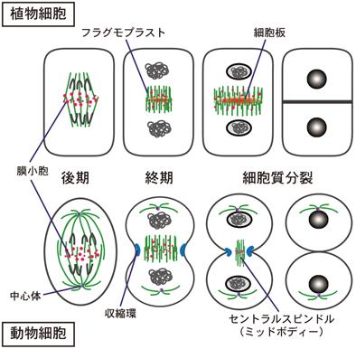 植物における細胞質分裂の制御機...