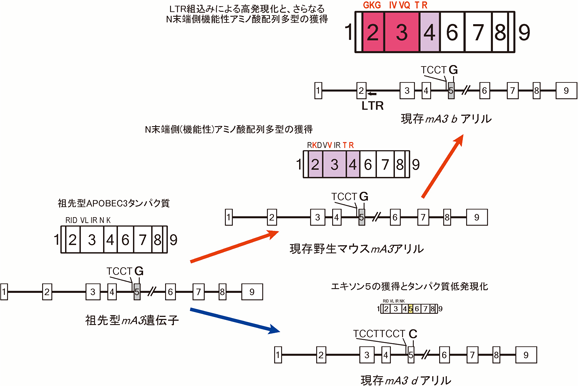 マウスAPOBEC3の生理機能と分子...