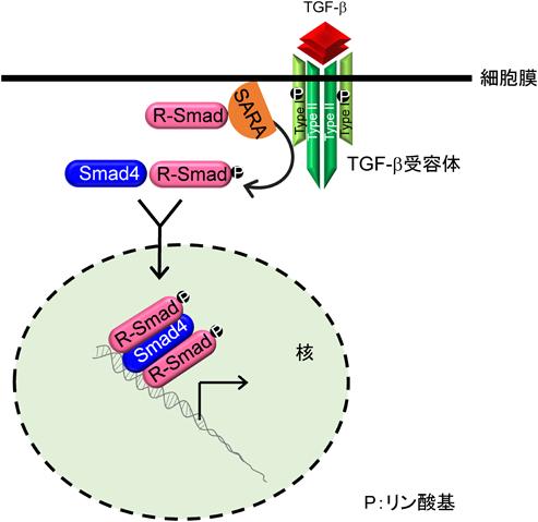 TGF-βシグナルを抑制するTMEPAI...