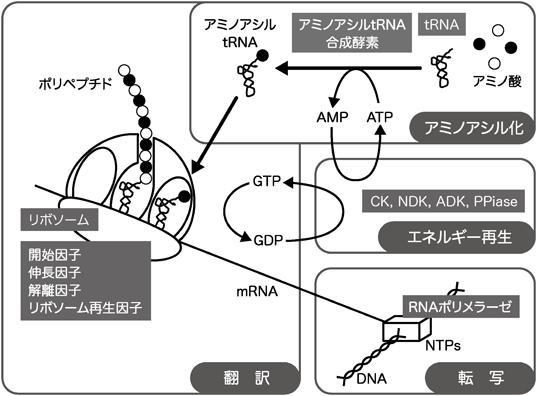 無細胞タンパク質合成系の高度化...