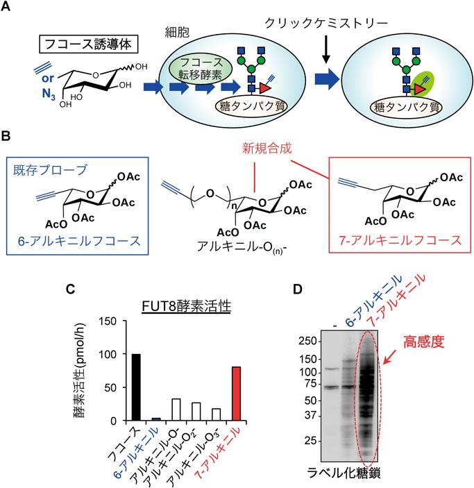 神経系における糖転移酵素の発現・機能とケミカルバイオロジー