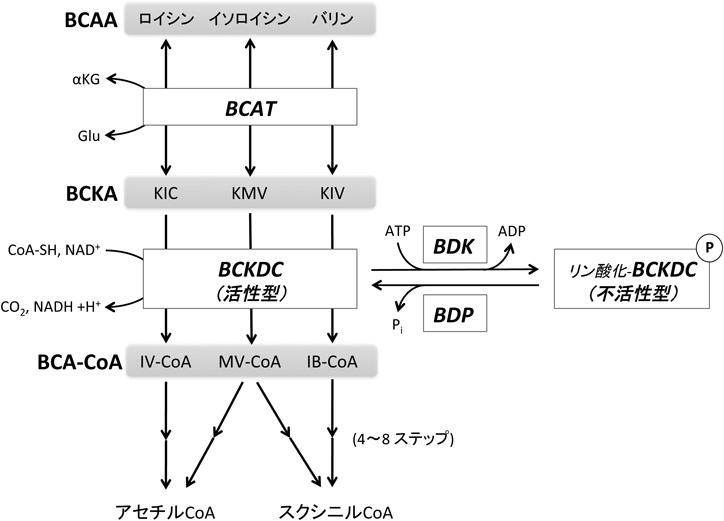 分岐鎖アミノ酸の分解制御機構と...