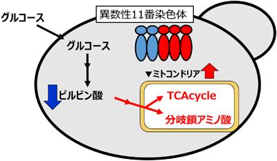 日本酒酵母の染色体異数性が生化学的代謝に及ぼす影響の解明と異数性に ...