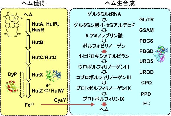 コレラ菌のヘム獲得機構と生合成系